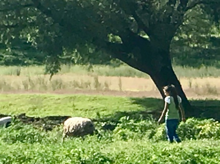 The young girl is walking a lamb on a leash. There were two baby lambs trailing them.